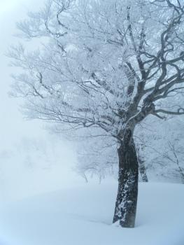 08ブナと霧氷.jpg