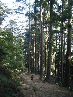 18見事な杉.jpg