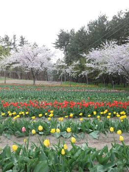 チューリップと桜.jpg
